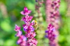 Lavandes et abeille Photographie stock