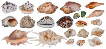Lavandini dell'insieme isolato molluschi tropicali del mare Fotografia Stock