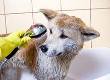 Lavando o cão em casa Imagem de Stock