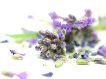 Lavandula Royalty Free Stock Photography