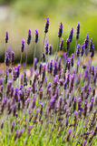 Lavandula Stock Photography