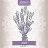 Lavandula angustifolia aka common lavender sketch. On elegant lace background. Aromatherapy series. Great for traditional medicine, perfume design or gardening vector illustration