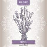 Lavandula angustifolia aka common lavender sketch Stock Photo