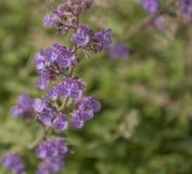 Field of Lavender, Lavandula angustifolia, Lavandula officinalis. Lavandula angustifolia, blooming fragrant lavender perennial plant royalty free stock images