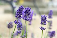 Lavandula angustifolia bunch of flowers in bloom. Medicinal plant, very aromatic stock images