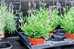 Lavandula angustifolia (nana) Royalty Free Stock Image