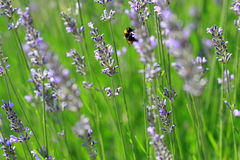 Lavandula-angustifolia oder Lavendel Lizenzfreies Stockbild