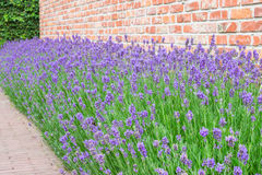 Lavandula angustifolia. Royalty Free Stock Photography