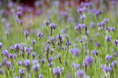 Lavandula Angustifolia to sprinkle on linen, is to place a small bag of lavender in drawers or closets. Lavandula Angustifolia to all on the linen is to lay the royalty free stock images
