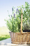 Lavandula basket  on garden table Royalty Free Stock Image
