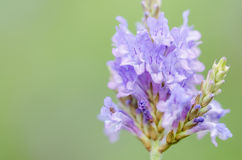 Lavandula Canariensis. In bloom in a botanic garden royalty free stock image
