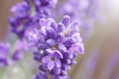 Lavender macro, Lavandula common name lavender royalty free stock photography