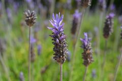 Purple lavender flowers growing in a garden. Lavandula, commonly known as lavender. Detail of purple bracts and flowers, an aromatic, ornamental plant growing royalty free stock photo