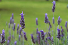 Lavandula dentata is a species of lavender, one of several speci Royalty Free Stock Photo
