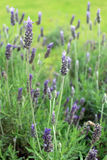 Lavandula dentata is a species of lavender, one of several speci Royalty Free Stock Images