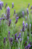 Lavandula dentata is a species of lavender, one of several speci Stock Photo