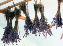 Lavandula drying on the air Royalty Free Stock Photo