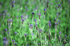 Lavandula flower Royalty Free Stock Images