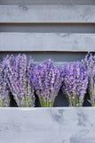 Lavandula flowers bouquets. Stock Image