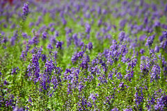 Lavandula garden. In field close up Stock Photos
