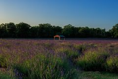 A field of lavender at sunrise. Lavandula is a genus of 47 known species of flowering plants in the mint family, Lamiaceae. It is native to the Old World and is stock photography
