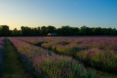 A field of lavender at sunrise. Lavandula is a genus of 47 known species of flowering plants in the mint family, Lamiaceae. It is native to the Old World and is stock image