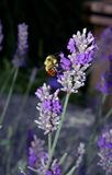 Bee on lavender flower Royalty Free Stock Photos
