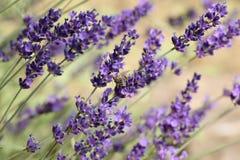 Lavandula - lavender flower - in the garden stock photo