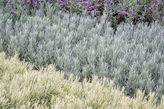 Lavandula (lavender) foliage background Stock Photos