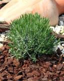 Lavandula officinalis Royalty Free Stock Photography