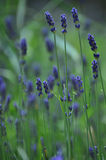 Lavandula officinalis Stockfotografie