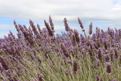 Lavandula Stock Photos