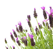 Lavandula Stoechas Royalty Free Stock Photos