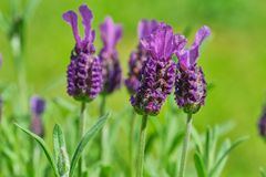 Lavandula stoechas blossom, close up color picture. Macro color photo of Lavandula stoechas against green background royalty free stock images