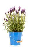 Lavandula Stoechas Royalty Free Stock Photography