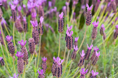 Lavandula stoechas Stock Photos