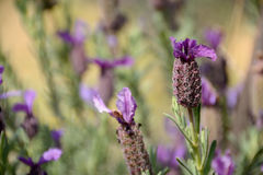 Lavandula stoechas Royalty Free Stock Images