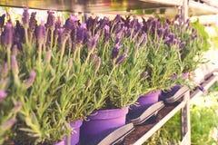 Lavandula stoechas lub Hiszpańska lawenda sprzedaje w garnkach przy plenerowym kwiatu sklepem Fotografia Stock