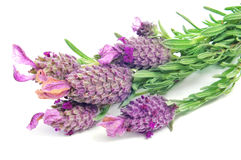 Lavandula stoechas, Spanish lavender Stock Images