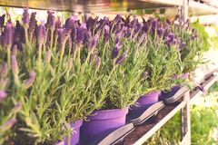 Lavandula stoechas or Spanish lavender being sold in pots at the outdoor flower shop stock photography