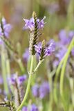 Lavandula Royalty Free Stock Images