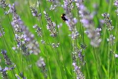 Lavandulaangustifolia eller lavendel Royaltyfri Bild