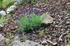 Lavandulaangustifolia i trädgården Arkivfoto