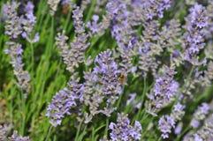 Lavandulaangustifolia - lavendel Arkivfoton