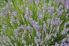 Lavandulaangustifolia - lavendel Royalty-vrije Stock Afbeelding