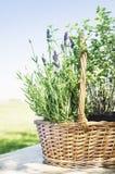 Lavandulamand op tuinlijst Royalty-vrije Stock Afbeelding