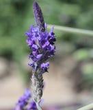Lavandulapinnata, ojämn lavendel, Fern Leaf Lavender Royaltyfri Bild