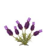 Luscious lavendel som isoleras på vitbakgrund Arkivbild