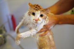 Lavar el gato Gato mojado, asustado e infeliz en manos humanas fotografía de archivo