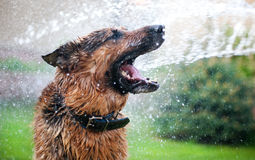 Lavar el perro Foto de archivo libre de regalías